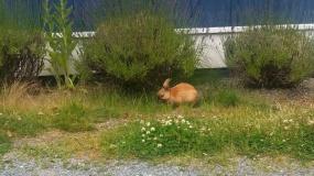 grown-up bunny
